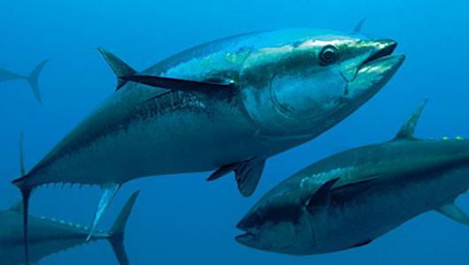 RIBA - MORSKA i SLATKOVODNA: vrste, zanimljivosti, pitanja, ribolov, recepti za pripremu... - Page 4 Tuna-1
